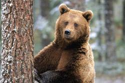 Последний медведь Бобруйщины ушел в Гомельскую область